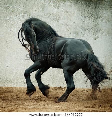 black friesian stallion gallop - stock photo