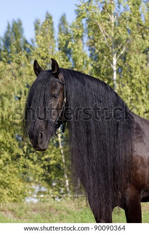 black frisian horse portrait - stock photo