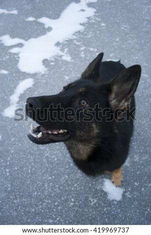 black German sheepdog sitting on ice - stock photo
