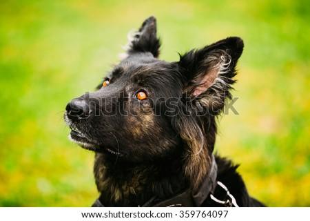 Black German Shepherd Dog or Alsatian Wolf Dog. Close Up Portrait On Green Grass Background - stock photo
