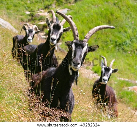 Black Goats with big Horns is looking to you - stock photo