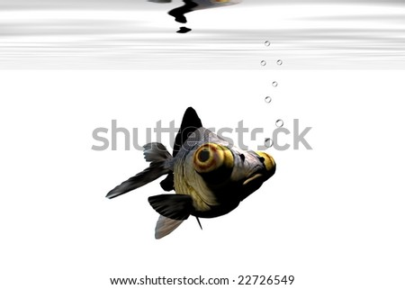 BLACK GOLDFISH - Mister goggle-eyes is starring at you. - stock photo