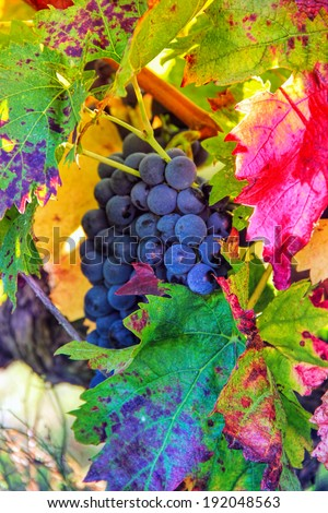 black grapes and colorful leaves�during autumn season - stock photo