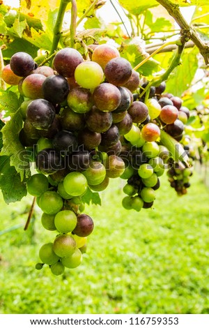 Black grapes in vineyard before harvest - stock photo
