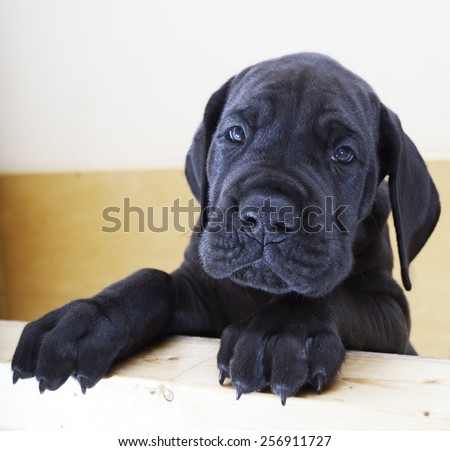 Black Great Dane puppy standing on the side of a box - stock photo