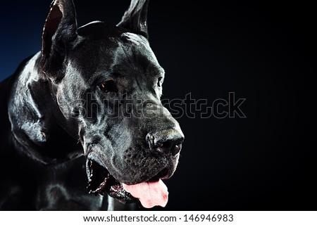 Black Great Dane sitting over black background - stock photo