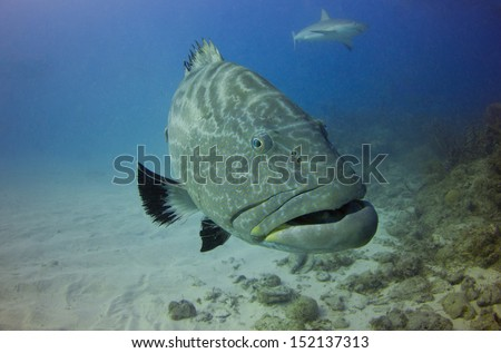 Black Grouper in the Bahamas - stock photo