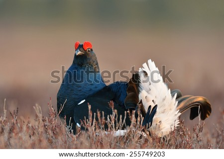 Black grouse in the bog - stock photo