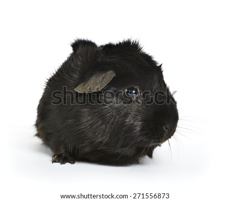 black guinea pig isolated on a white background with a soft shadow. shot from the front - stock photo
