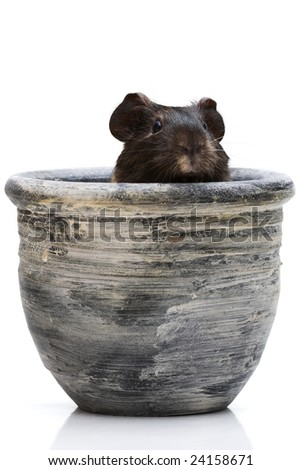 Black guinea pig looking out from a clay pot - stock photo