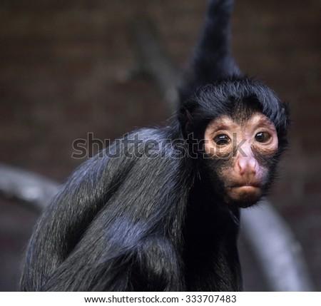 Black hairy monkey looking into the camera sad look - stock photo