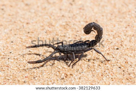 Black Hairy thick tailed Scorpion in Swakopmund in Namibia - stock photo