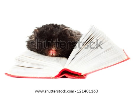 black hamster pet reading a book - stock photo