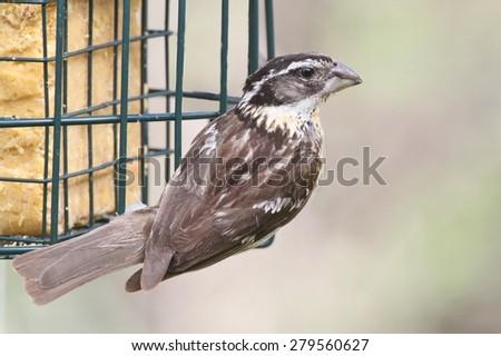 Black-headed Grosbeak (Pheucticus melanocephalus) on a feeder - stock photo