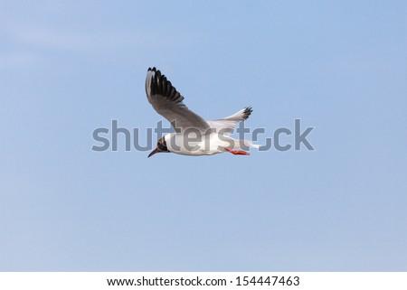 Black-headed Gull (Chroicocephalus ridibundus) in flight - stock photo