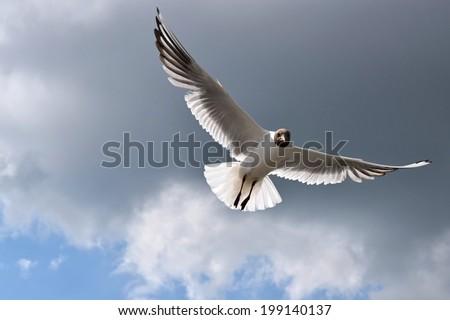 black-headed gull (Chroicocephalus ridibundus) - seagull - stock photo