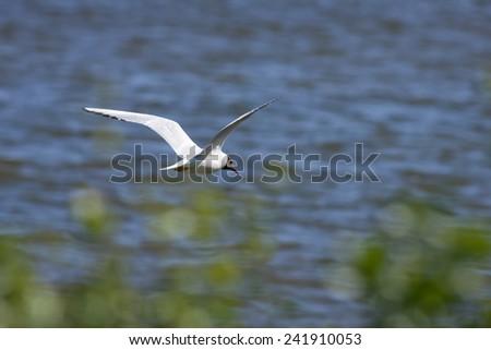 Black-headed Gull flying in the blue sky. Chroicocephalus ridibundus in the air. Bushes this side. - stock photo
