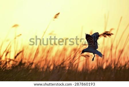 Black-headed Gull (Larus ridibundus) flying on sunset natural background - stock photo