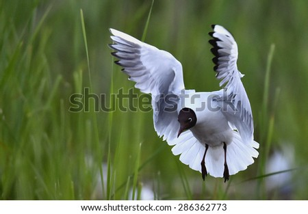 Black-headed Gull (Larus ridibundus) in flight on the green grass background. - stock photo
