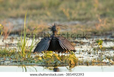 Black Heron displaying the umbrella in Chobe River in Botswana - stock photo