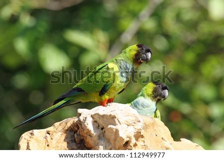 black-hooded parakeet - stock photo