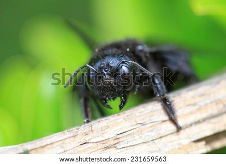 Black hornet bee in the garden  - stock photo