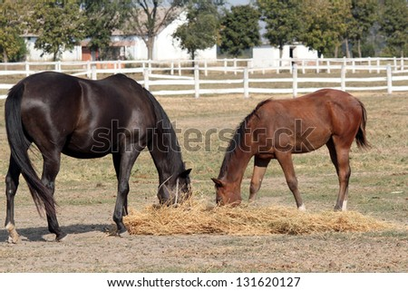 black horse and foal eat hay - stock photo