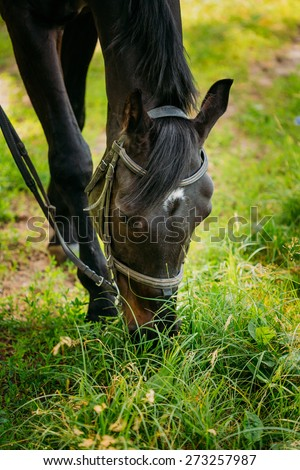 Black Horse Eats In Spring Pasture. Close-up Of Head Of Horse Eating Grass - stock photo