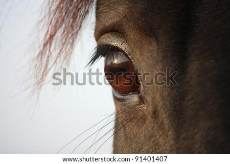 Black horse eye close up - stock photo