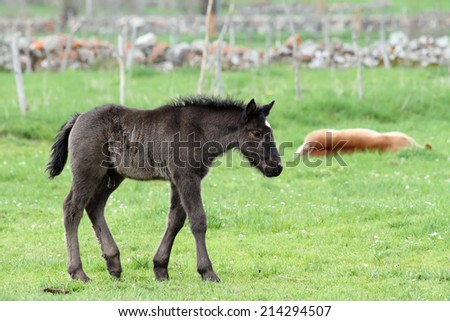 Black horse foal with a white spot in his forehead walking - stock photo