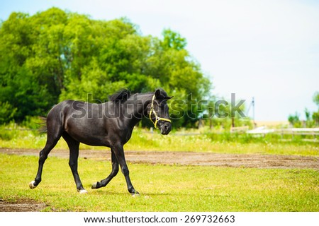 Black horse in meadow. Summer day - stock photo