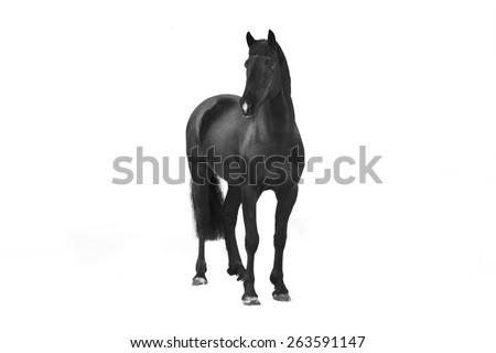 black horse isolated - stock photo