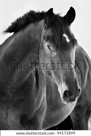 Black horse portrait on grey background, black and white photography - stock photo