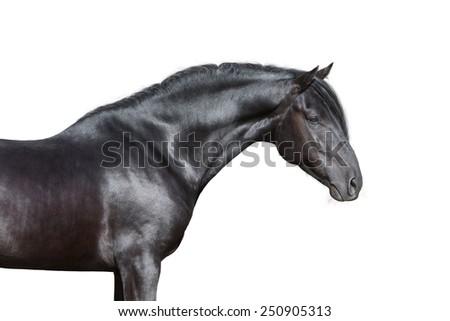 Black horse portrait on white background, isolated. - stock photo
