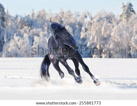 Black horse running in winter - stock photo