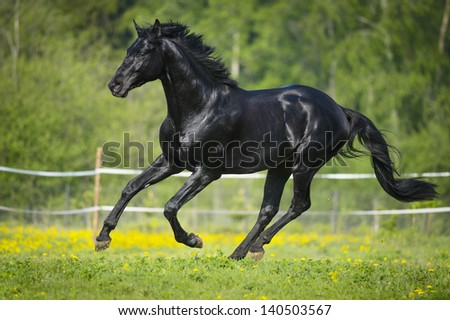 Black horse runs gallop in summer time - stock photo