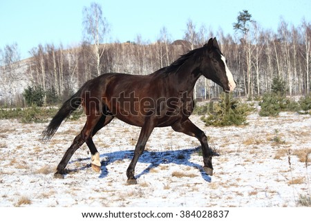 Black horse trotting free in winter - stock photo