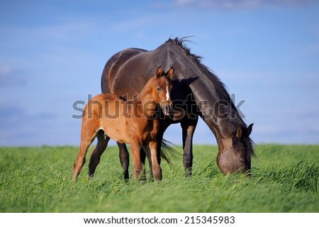 Black horse with a small brown foal grazing on the green grass against the sky - stock photo