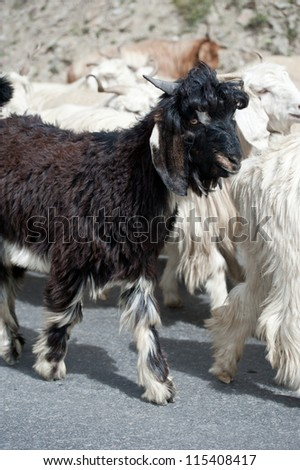 Black kashmir (pashmina) goat from Indian highland farm in Ladakh going with herd - stock photo