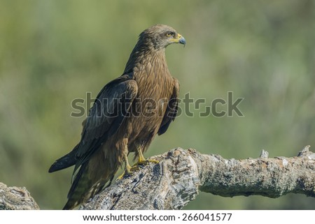 black kite - stock photo