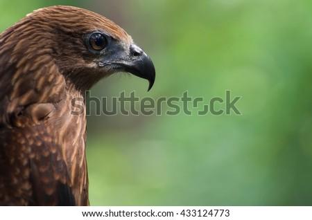 Black kite, Bird of prey, Birds in Thailand. - stock photo