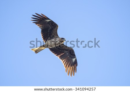 Black kite flying against clear sky. - stock photo
