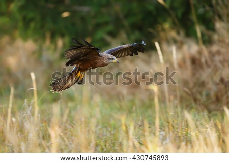 Black Kite hunts from the air, looking for some prey. - stock photo