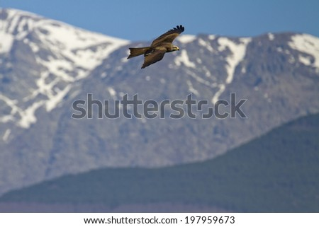 Black Kite Milvus migrans - stock photo