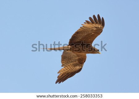 Black Kite which is locally known as Amora, flying in the air - stock photo