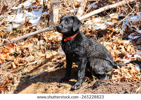 Black lab puppy enjoys cool weather outside - stock photo