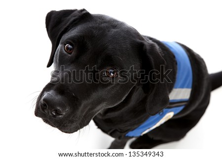 Black lab wearing a working vest & looking up at the camera.  Isolated on white. - stock photo