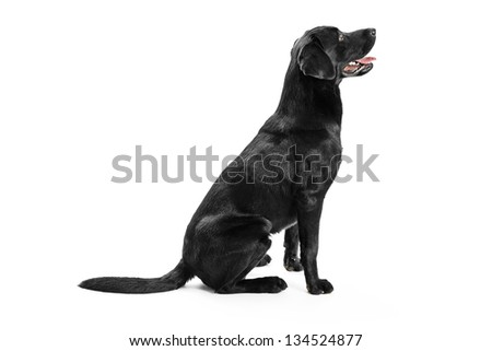 Black Labrador - stock photo
