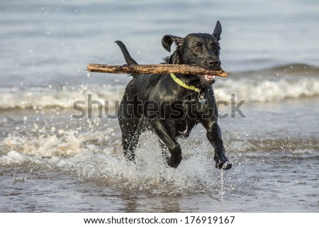 Black Labrador fetching stick from the sea - stock photo