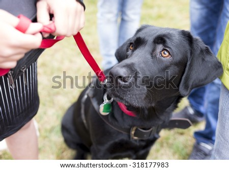 Black labrador guide dog before the last training for the animal. The dogs are undergoing various trainings before finally given to the physically disabled people.  - stock photo